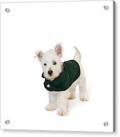 Westie Puppy In A Coat Acrylic Print by Natalie Kinnear