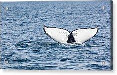 Whale Tail Stellwagen Bank Acrylic Print by Michelle Wiarda