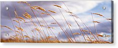 Wheat Stalks Blowing, Crops, Field Acrylic Print by Panoramic Images