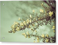 When Gorse Flowers Sing Their Melody Acrylic Print by Loriental Photography