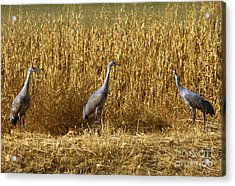 Where Is The Corn Acrylic Print by Mike  Dawson