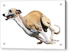 Whippet In The Wind Acrylic Print by Liane Weyers
