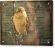 Whistling Song Sparrow Acrylic Print by Janice Rae Pariza