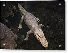 White Alligator Acrylic Print by Garry Gay
