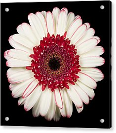 White And Red Gerbera Daisy Acrylic Print by Adam Romanowicz