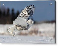 White Angel - Snowy Owl In Flight Acrylic Print by Mircea Costina Photography