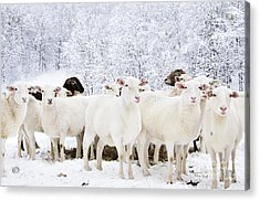 White As Snow Acrylic Print by Thomas R Fletcher