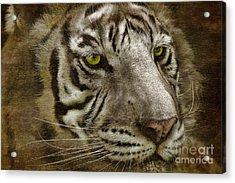 White Bengal Acrylic Print by Lois Bryan