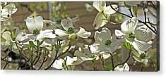 White Blossoms Acrylic Print by Barbara McDevitt