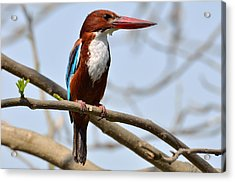 White Breasted Kingfisher Acrylic Print by Fotosas Photography