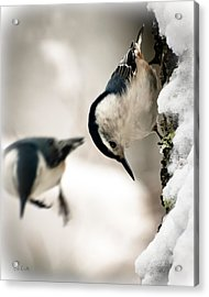 White Breasted Nuthatch In The Snow Acrylic Print by Bob Orsillo