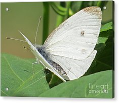 White Butterfly Acrylic Print by Judy Via-Wolff