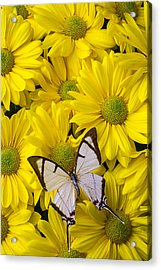 White Butterfly On Yellow Mums Acrylic Print by Garry Gay