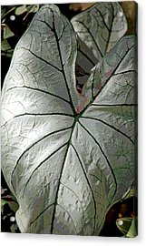 White Caladium Acrylic Print by Suzanne Gaff