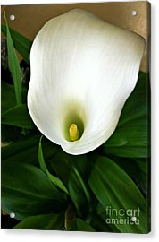 White Calla Lily Acrylic Print by Addie Hocynec