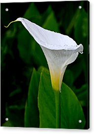 White Calla Acrylic Print by Rona Black
