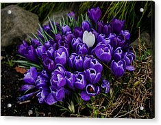White Crocus On A Field Of Purple Acrylic Print by Ron Roberts