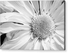 White Daisy Acrylic Print by Adam Romanowicz