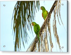 White-eyed Parakeets, Brazil Acrylic Print by Gregory G. Dimijian, M.D.