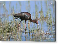 White-faced Ibis Acrylic Print by Anthony Mercieca