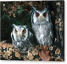 White Faced Scops Owl Acrylic Print by Hans Reinhard
