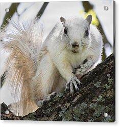 White Fox Squirrel Acrylic Print by Betsy C Knapp