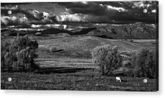 White Horse Acrylic Print by Peter Tellone