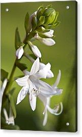 White Hosta Flower Acrylic Print by Christina Rollo