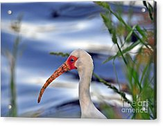 Intriguing Ibis Acrylic Print by Al Powell Photography USA