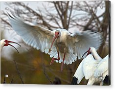 White Ibis Acrylic Print by Mark Newman
