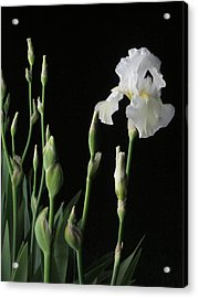 White Iris In Black Of Night Acrylic Print by Guy Ricketts