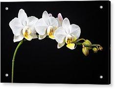 White Orchids Acrylic Print by Adam Romanowicz