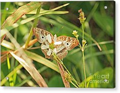 White Peacock Butterfly On Wild Daisy Acrylic Print by Terri Mills