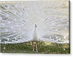 White Peacock - Fountain Of Youth Acrylic Print by Christine Till