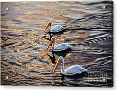 White Pelicans  In Golden Water Acrylic Print by Robert Bales