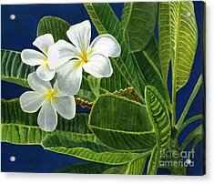White Plumeria Flowers With Blue Background Acrylic Print by Sharon Freeman