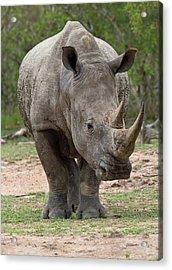 White Rhino Acrylic Print by Bob Gibbons