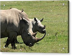 White Rhino Mother And Calf Acrylic Print by Aidan Moran