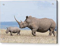 White Rhinoceros And Calf  Kenya Acrylic Print by Tui De Roy