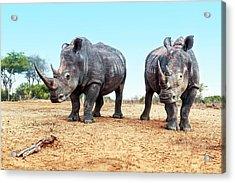 White Rhinoceros Bulls Acrylic Print by Peter Chadwick