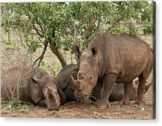 White Rhinos Resting Acrylic Print by Bob Gibbons