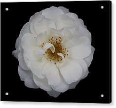 White Rose 2 Acrylic Print by Carol Welsh