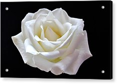 White Rose Acrylic Print by Catherine Davies