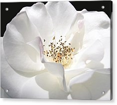 White Rose Petals Acrylic Print by Jennie Marie Schell
