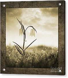 White Snakes Head Fritillary In Morning Dew Acrylic Print by Tim Gainey