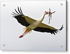 White Stork Carrying Nesting Material Acrylic Print by Bob Gibbons