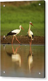 White Stork (ciconia Ciconia) Acrylic Print by Photostock-israel
