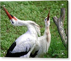 White Stork In Bonding Ritual Pose Acrylic Print by Optical Playground By MP Ray