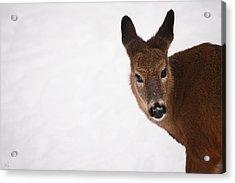White Tail Babe Acrylic Print by Karol Livote