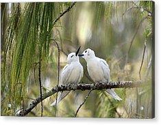 White Terns (gygis Alba Rothschildi Acrylic Print by Daisy Gilardini